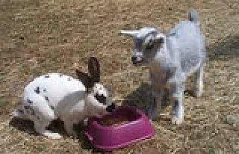 goat_rabbit_sharing.jpg