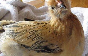 chickens2011332.jpg
