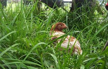 ChickensJuly7010.jpg
