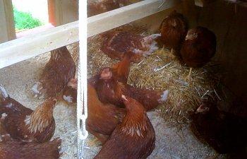 chickens-in-coop.JPG