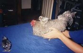 th_chicks0003.jpg