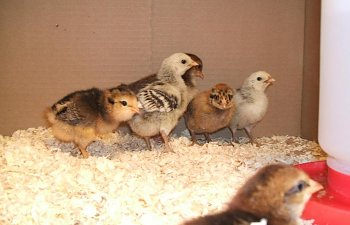 2009_0523NewChicks0003.jpg