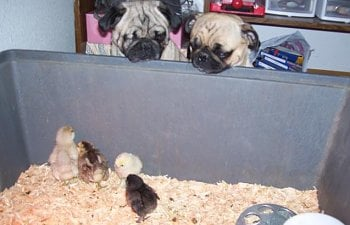 29429_pugs_with_chicks_010.jpg