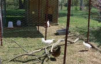 28462_chickens8wks.jpg