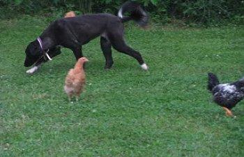 chickenfreeranging012.jpg