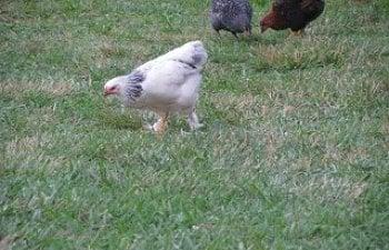 chickenfreeranging015.jpg