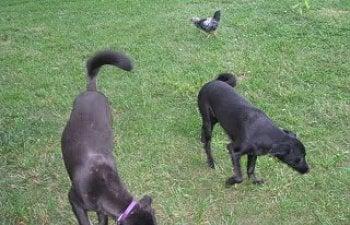 chickenfreeranging009.jpg