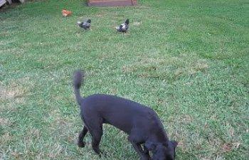 chickenfreeranging008.jpg