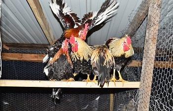 chickens2030.jpg