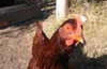 Chickens11-05-07001.jpg