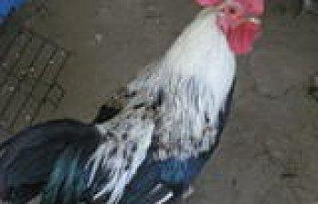 chickensandduckSept2008008.jpg