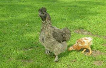 ChickensDec2008015.jpg
