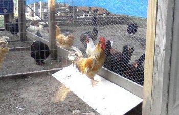 32601_my_chickens_040.jpg