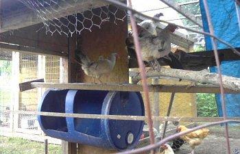 32601_my_chickens_030.jpg
