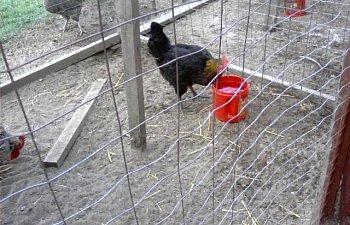 32601_my_chickens_029.jpg