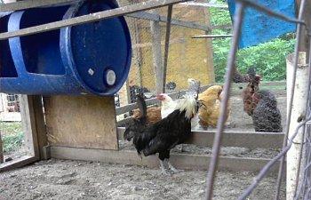 32601_my_chickens_026.jpg