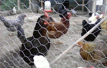 32601_my_chickens_021.jpg
