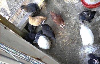 32601_my_chickens_014.jpg