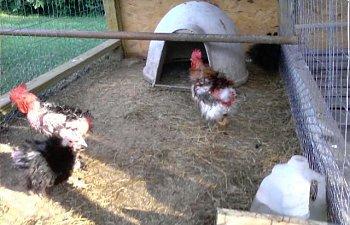 32601_my_chickens_011.jpg