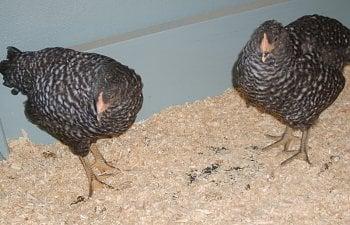 Chickens007.jpg