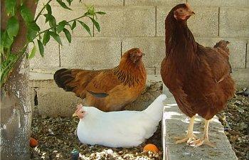 gardenchickens0111.jpg
