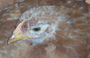 chicksforlogo027.jpg