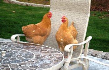 ChickensonChair.jpg