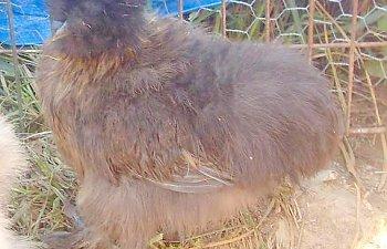 Partridgepullet1.jpg