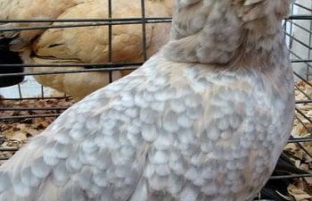 Chicken15.jpg