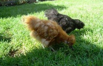 57613_chickens_007.jpg