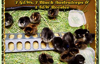glw-ba-slw-chicks-10082010sm-001.png