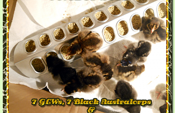 glw-ba-slw-chicks-10082010sm-002.png