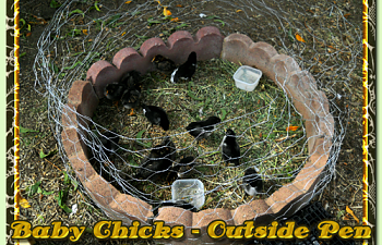 10-16-2010-baby-chicks-001.png