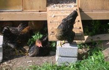 57274_chickens_065.jpg