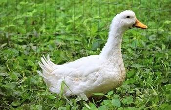 pekin duck.JPG