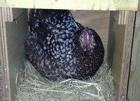 Sadie in nesting box small.jpg