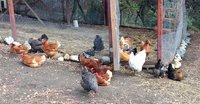 my chickens.jpg