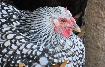 Think of your neighbors: simple chicken keeping etiquette