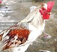 Ayam Ketawa Tulungagung (Ketawa Bali X Prajurit hens.jpg