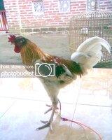 Ayam Ketawa Tulungagung (Ketawa Bali X Prajurit hens 2.jpg