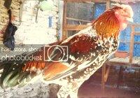Ayam Semarang Ketawa.jpg