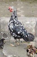 Ayam Semarang Ketawa2.jpg