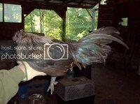 Quibdó [Columbian] Crested Chibcham.jpg