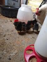 Chicks 4.jpg