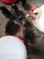 Chick 2.jpg