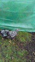 poultry6 097.jpg