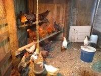 Hens 001.jpg