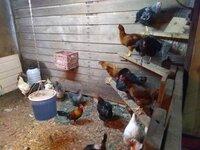 Hens 002.jpg