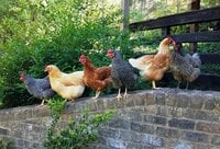 Hens on the wall 1 - Copy.jpg