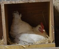 toes in the nest box.jpg